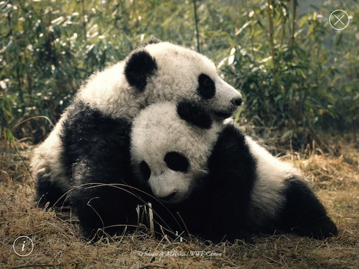 wwf-pandas-screenshot